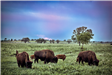 Three Grown Bison and a Calves Grazing