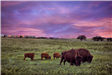 Two Bison Grazing with Three Calves in the Sunset