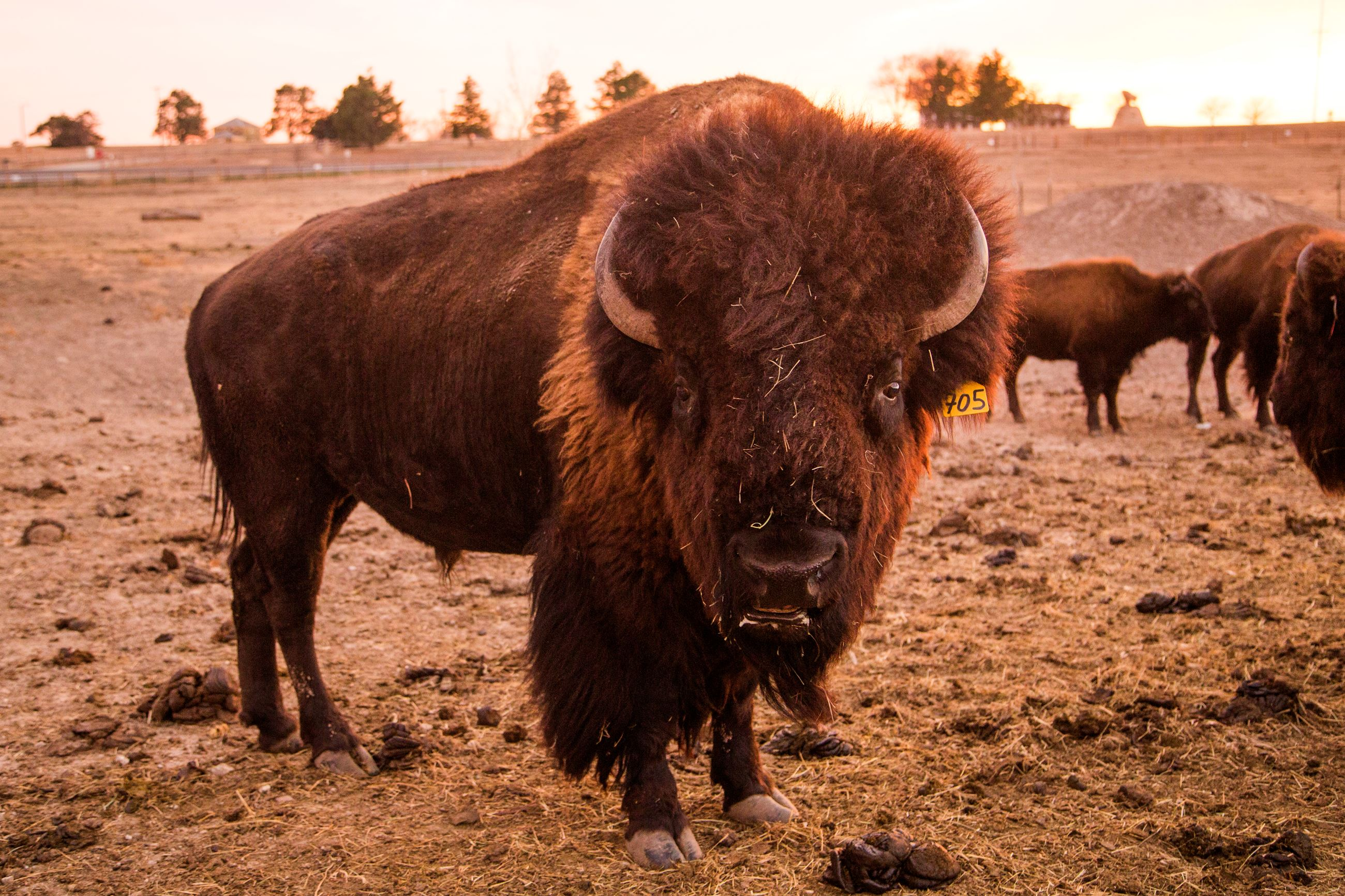 Grown Bison and Two Calves Grazing