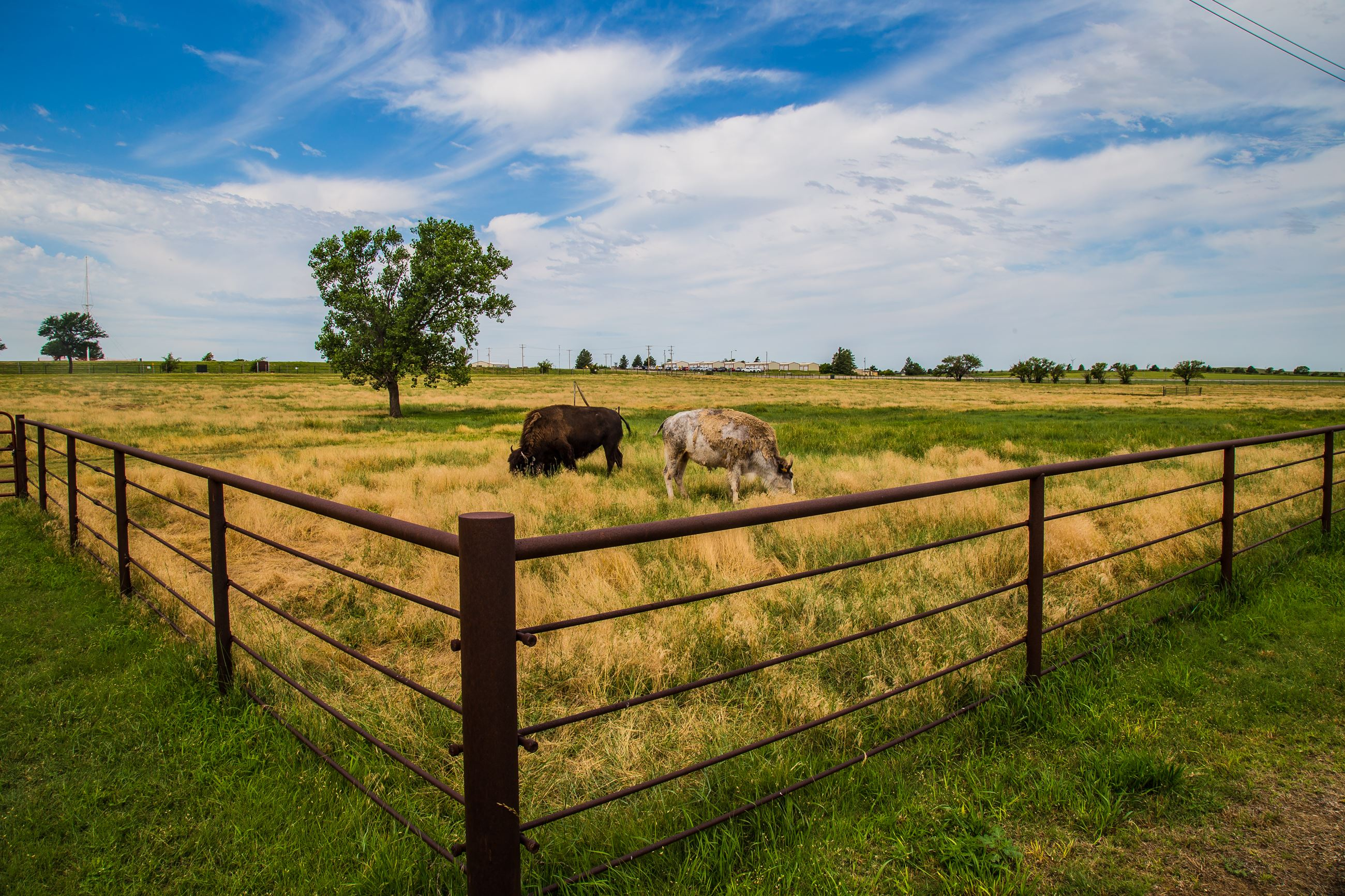 White and Brown Bison Grazing