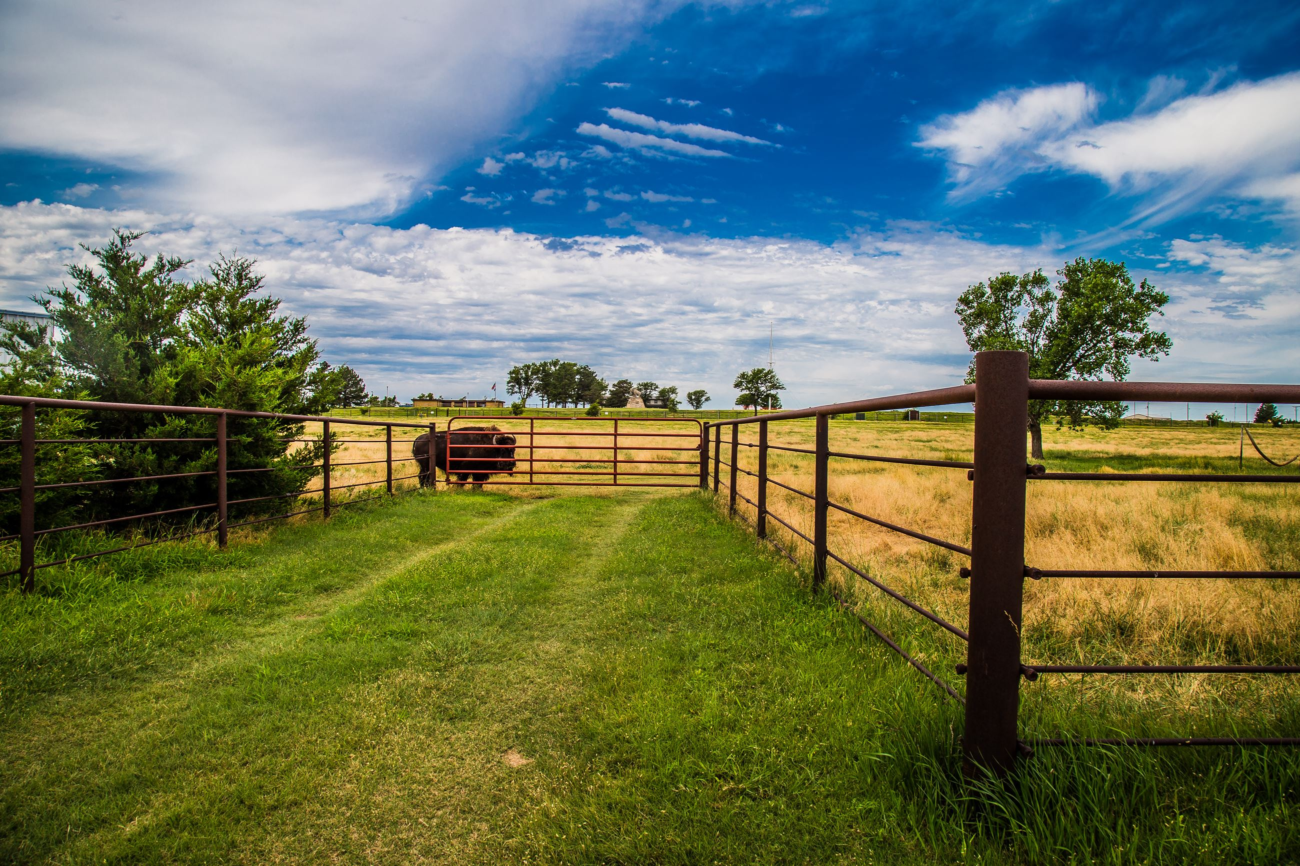 Lone Bison Grazing Alongside the Fence