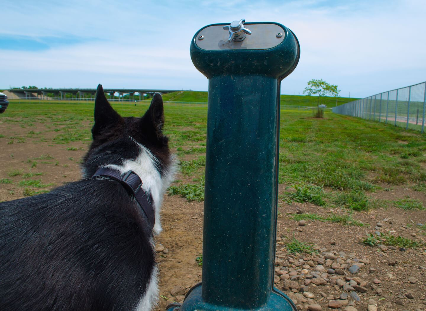 Black and white dog next to a dog drinking fountain