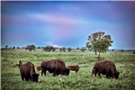 Bison grazing in a field with trees